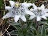 edelweiss-k-n.jpg
