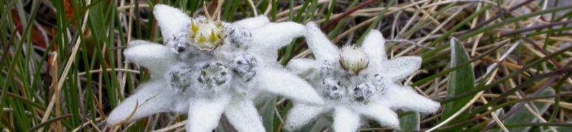 edelweiss-02