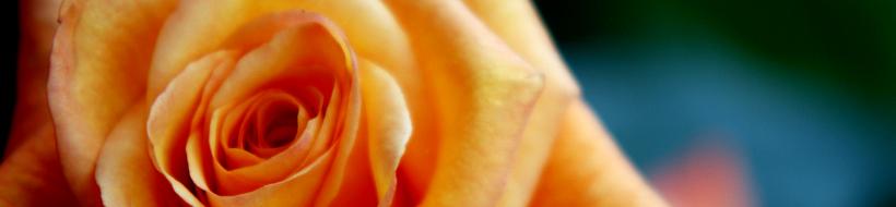 rose-02
